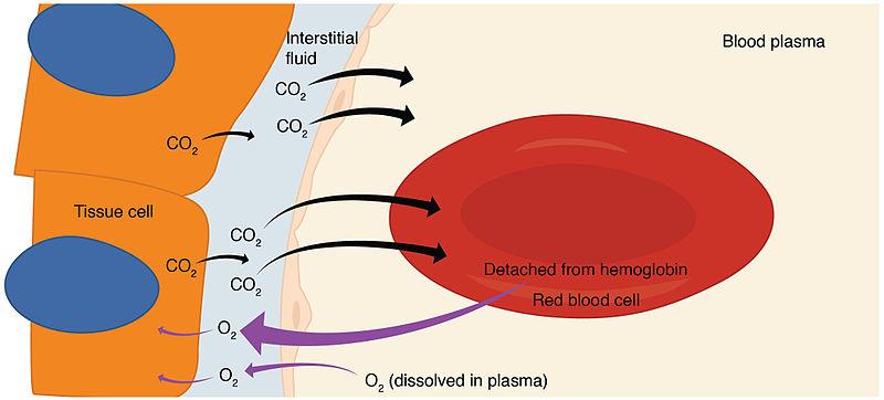 Compare internal and external respiration